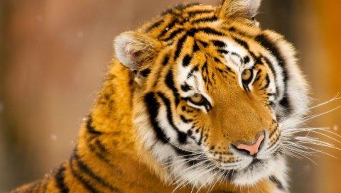 Тигр, большой кот, хищник, глаза, лицо