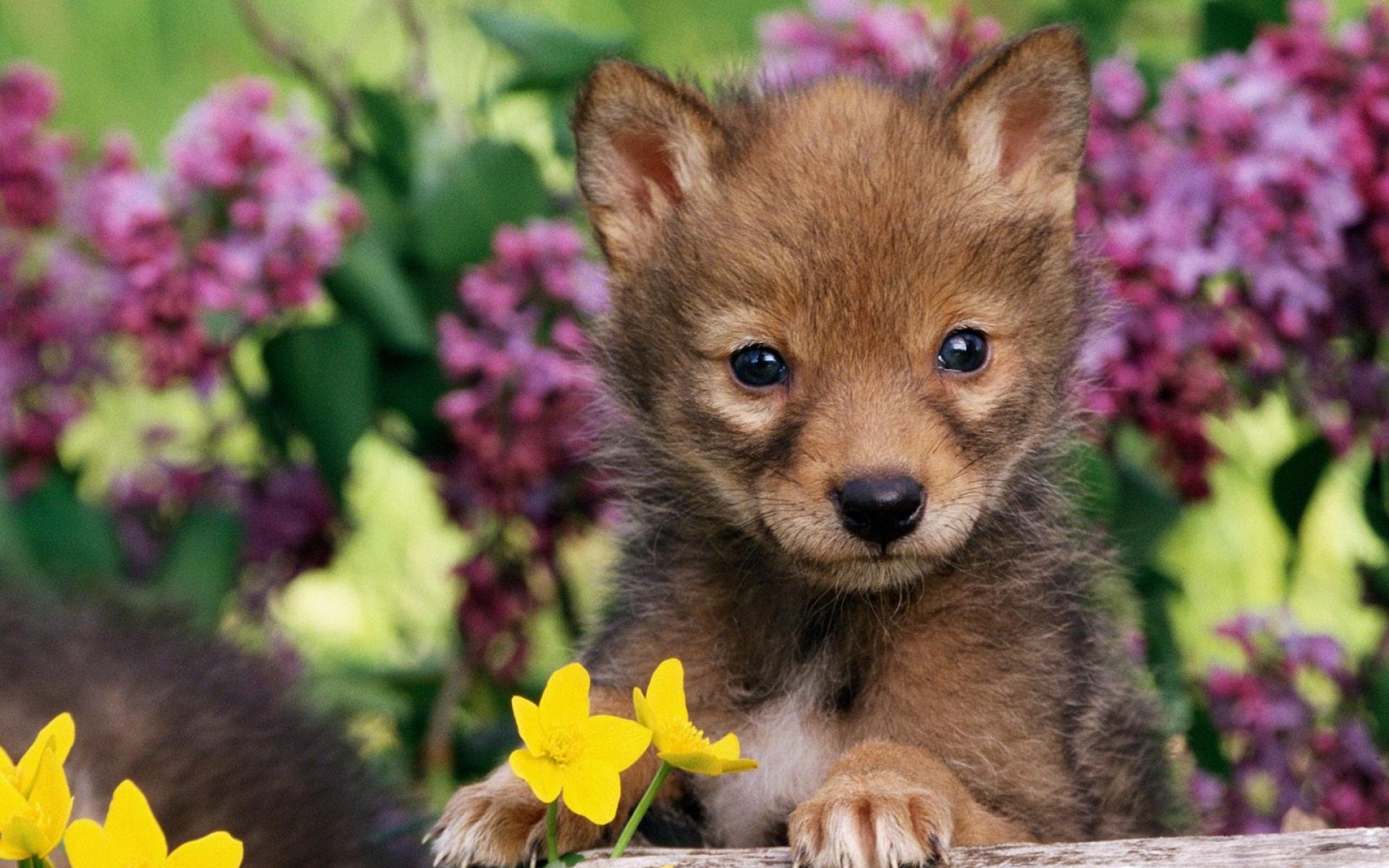 Картинки Щенок, трава, волк, детеныш, собака фото и обои на рабочий стол