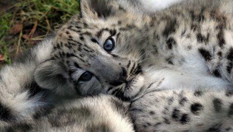 Леопардовый кубик, ребенок, лицо, хищник