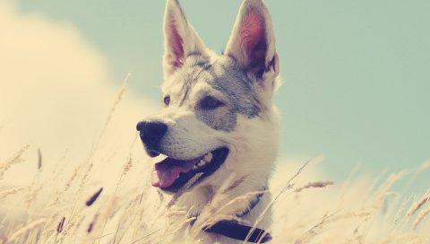 Собаки, трава, охота, бег, энтузиазм