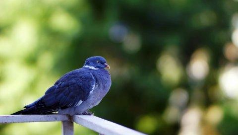 Голубь, птица, сидение, перья