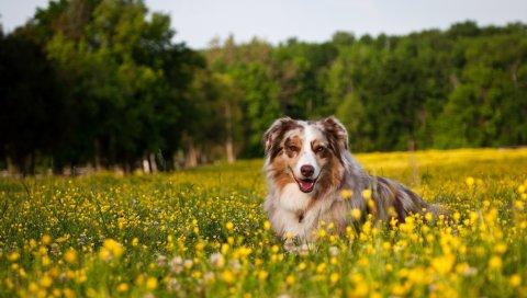 Австралийский пастух, собака, пастух, трава, цветы, ложь