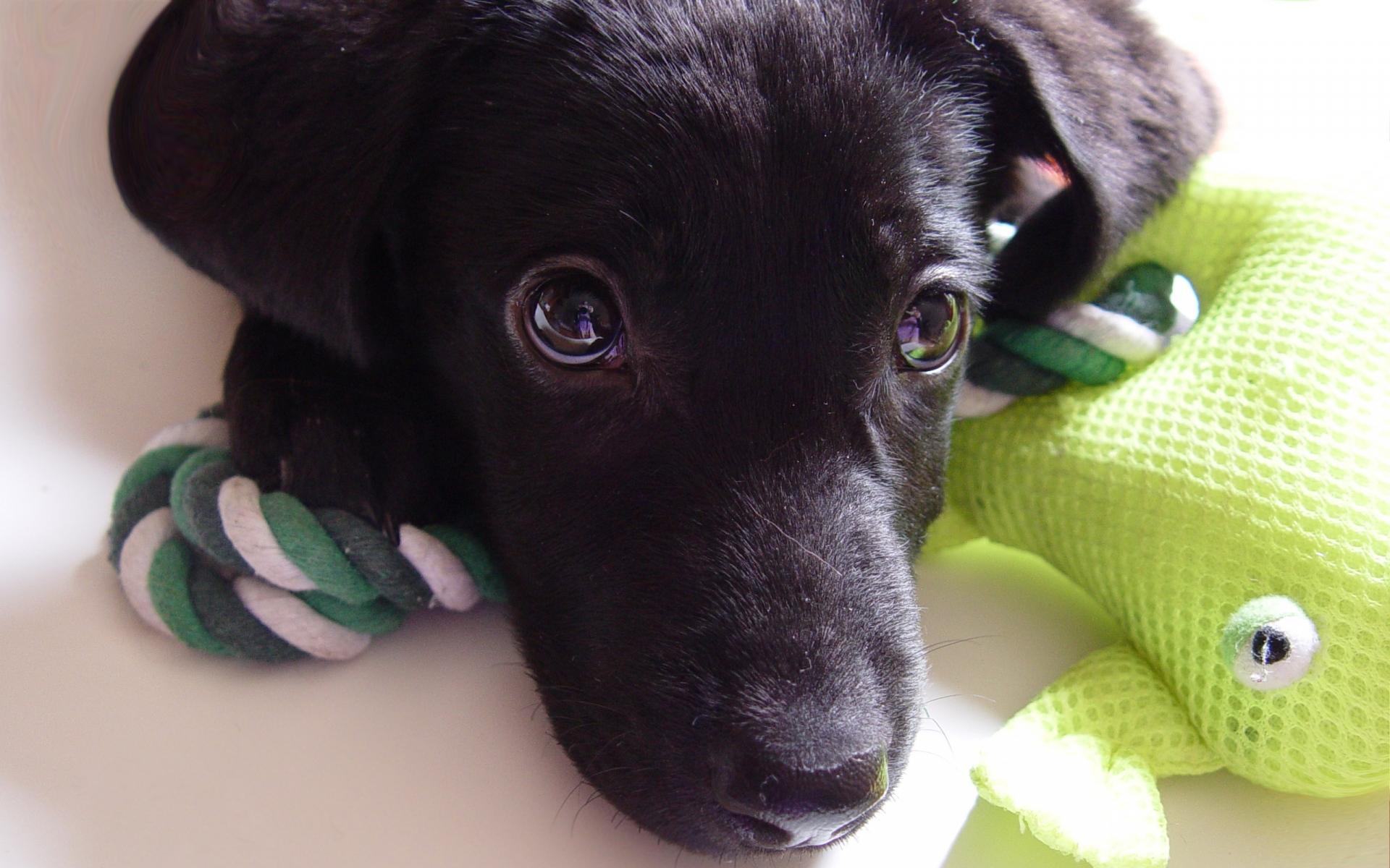 Картинки Собака, щенок, лабрадор, лицо, глаза фото и обои на рабочий стол