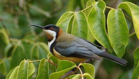 Восточные силоклювые медозо, птица, клюв, ветка, лист