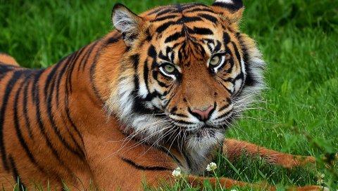 Тигр, большой кот, хищник, трава, цветы