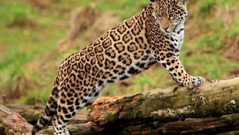 Ягуар, скалолазание, большой кот, наблюдение