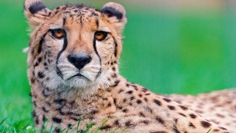 Гепард, большой кот, лицо, пятнистый