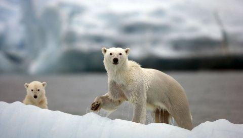 Белые медведи, семья, прогулка, снег, арктика