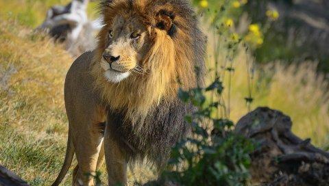 Лев, большой кот, трава, прогулка