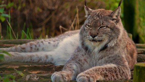 Рысь, большая кошка, лицо, ложь, сон, старый