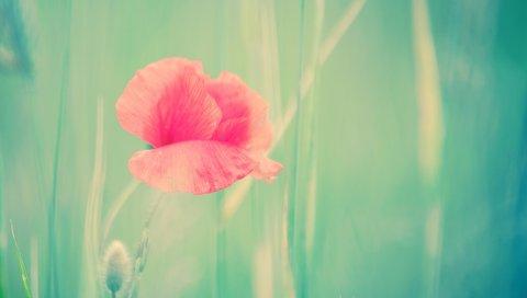 Цветок, маки, стебель, бутон