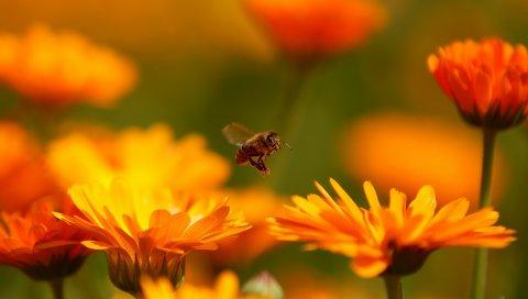 Муха, цветок, пчела, насекомое