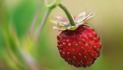 Клубника, ягода, ветка, растение