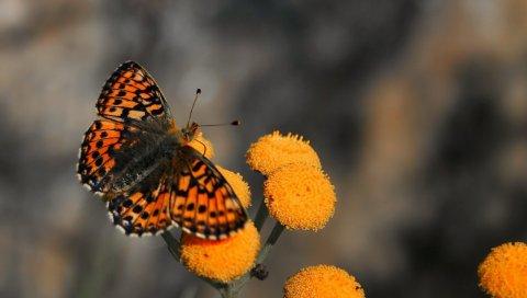 Бабочка, насекомое, цветок, муха, узоры