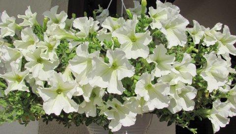 Петуния, цветы, белоснежные, горшки, высота