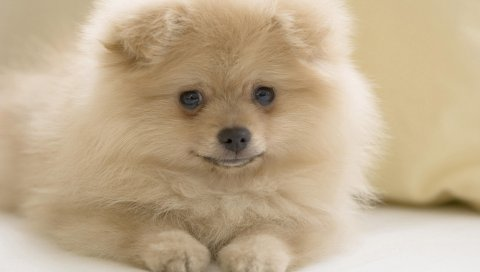 Собака, лицо, белый, пушистый