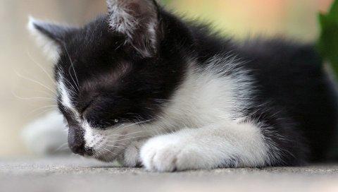 Котенок, пятнистый, морда, сон