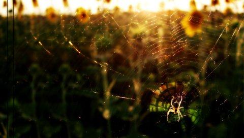 Паук, цветы, свет, паутина