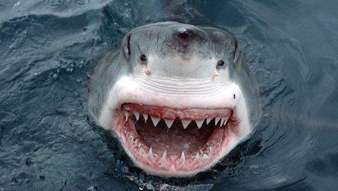 Акула, зубы, лицо, гнев