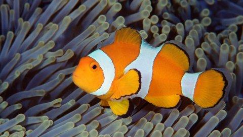 Рыба, балий, индонезия, подводный, морской, океан