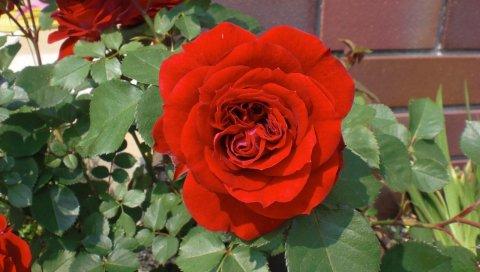 Роза, цветок, сад, клумба, стена