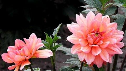 Георгины, цветы, клумба, крупный план