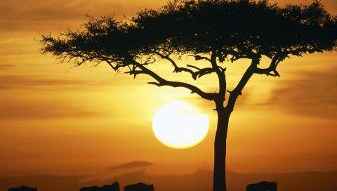 Буйволы, закат, солнце, дерево, очертания, саванна