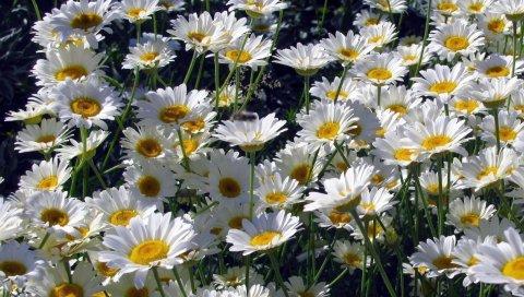 Ромашки, цветы, белый, солнечный