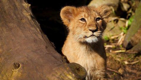 Лев, ребенок, прогулка, лицо