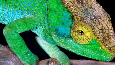 Хамелеон, голова, цвет, яркий
