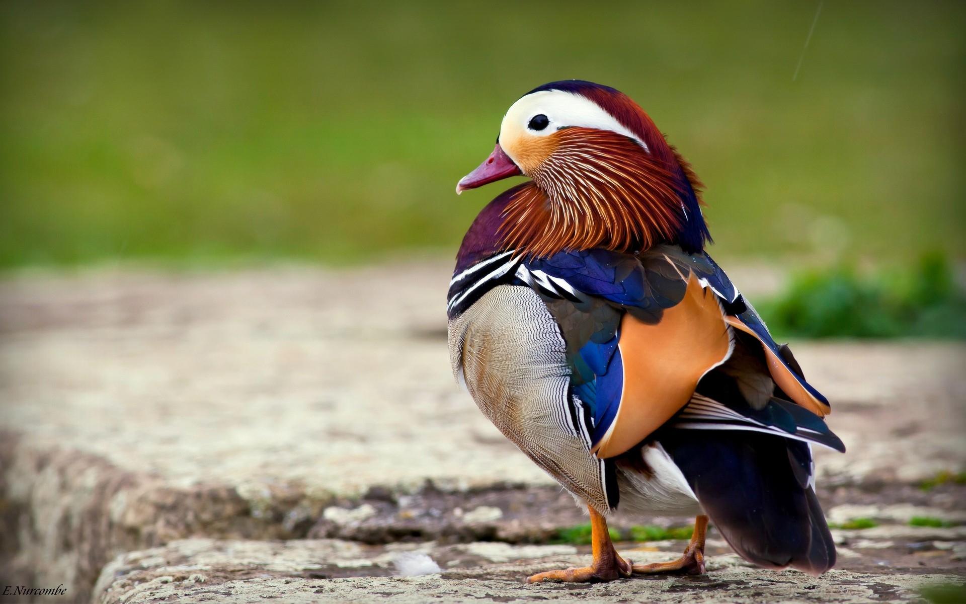 фото птиц на обои для рабочего стола этой