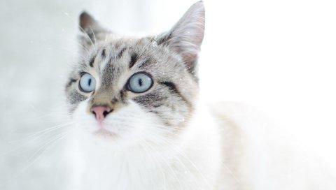 Кошка, лицо, голубые глаза, удивление