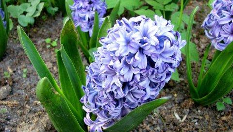 Гиацинт, цветок, клумба, зеленый, земля
