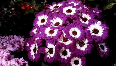Цинерария, цветы, двухцветный, клумба