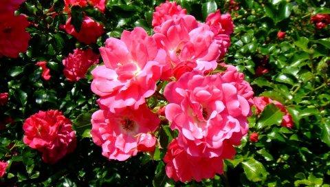 Розы, цветы, зелень, сад, солнечный