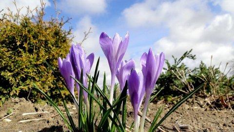 Крокусы, цветы, весна, земля, небо, облака