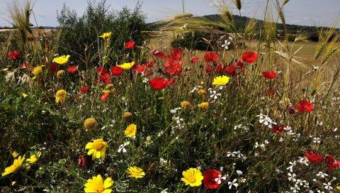Маки, цветы, уши, травы, луг, природа