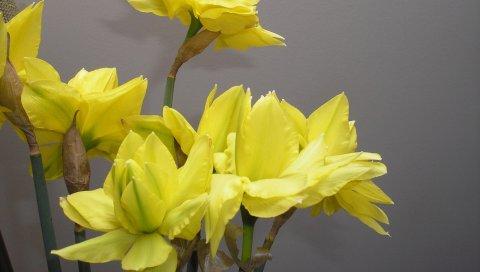 Нарциссы, цветы, цветок, весна, стена