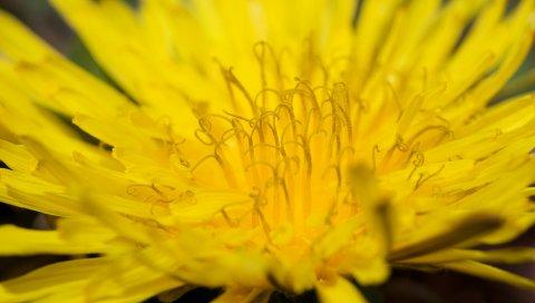 Цветок, лепестки, яркий, бутон, форма