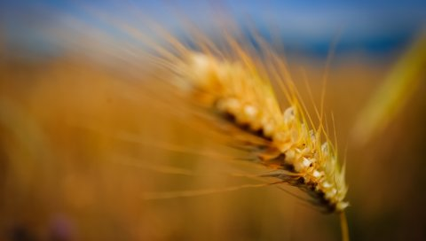 Ухо, трава, размытое, фон