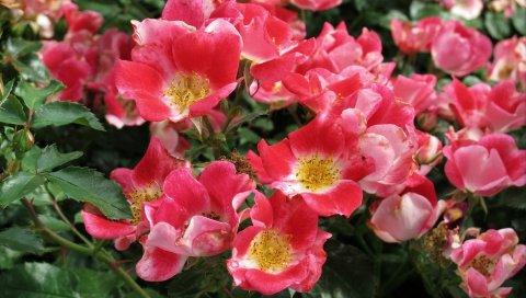 Роза, кустарник, цветок, лист