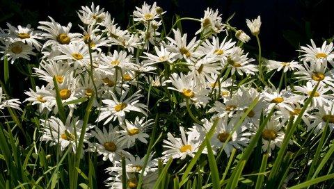 Ромашки, цветы, трава, зеленый, свет