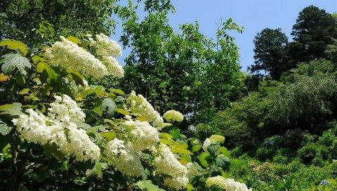 Гортензия, цветы, зелень, деревья, небо