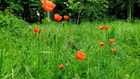 Маки, зеленый, солнечный, трава, лето, деревья