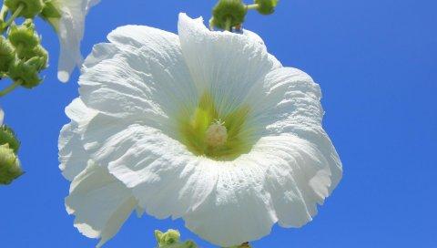 Мальва, цветок, белый, небо, синий, крупный план