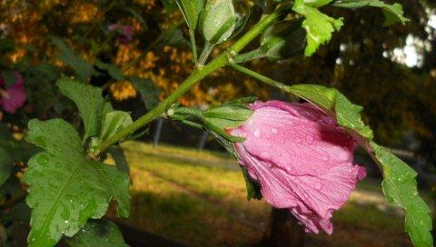 Мальвы, цветок, листья, капли, свежие, макро, деревья