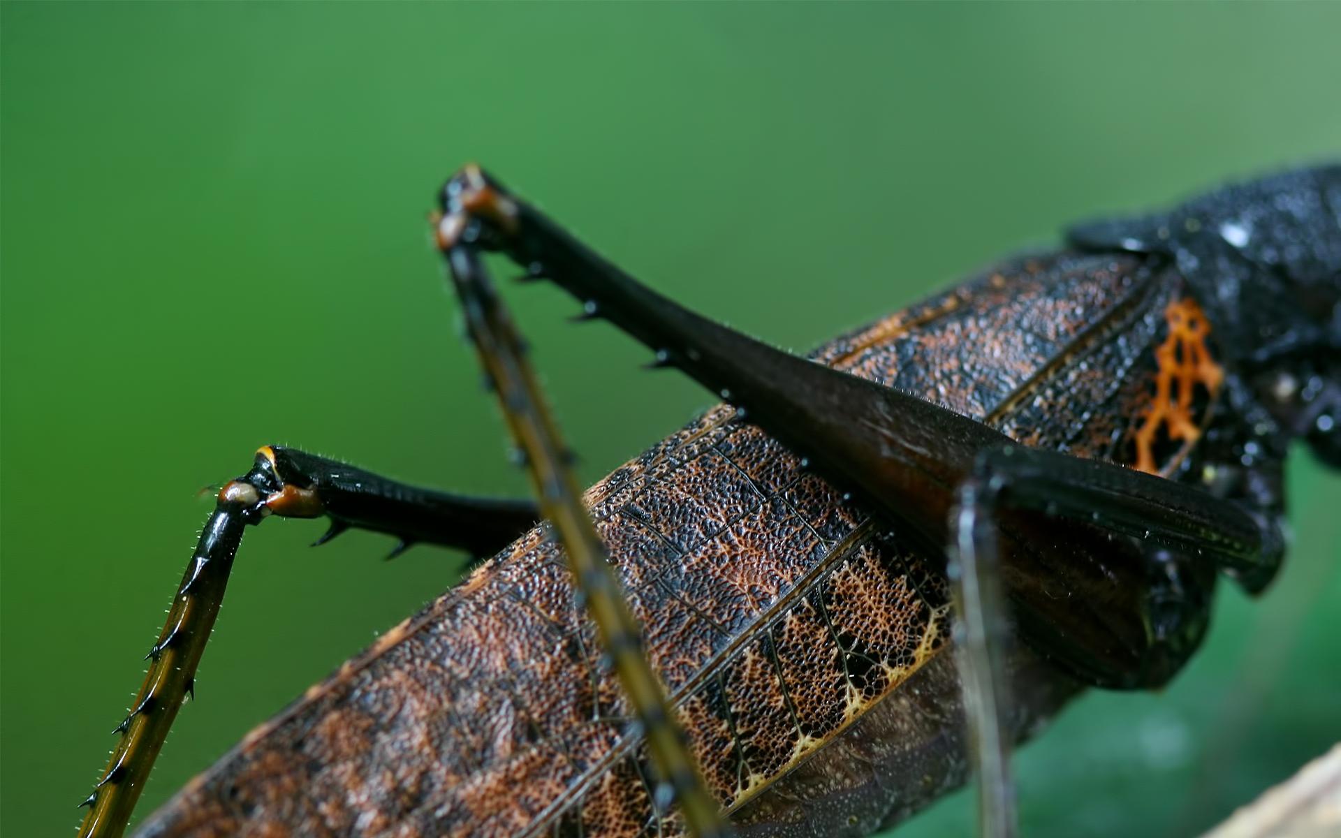 Картинки Кузнечик, ноги, туловище, насекомое фото и обои на рабочий стол