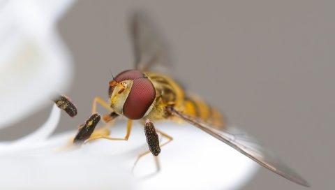 Пчела, насекомое, глаза, крылья