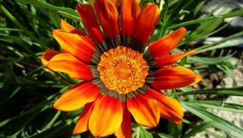 Газания, цветок, клумба, зеленый, земля, крупный план