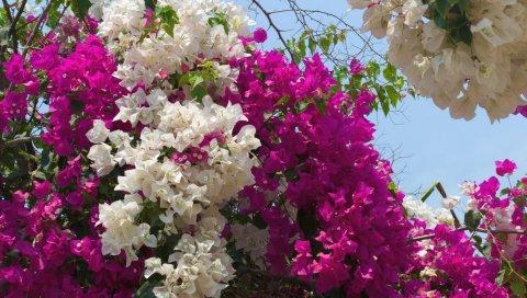 Бугенвиль, цветущий, двухцветный, кустарник, небо